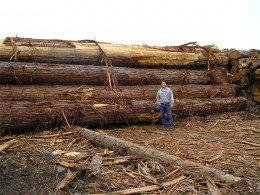 Port Orford Cedar logs